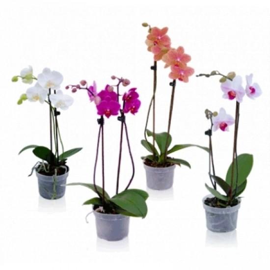 Phalenopsis - orchidej