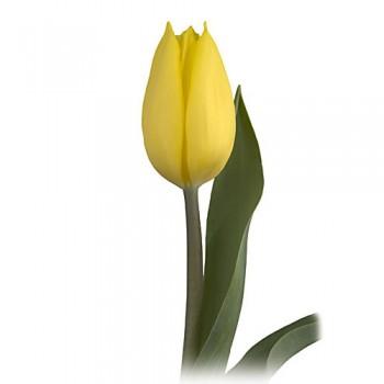 Tulipán Gold